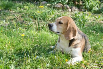 chien, Beagle