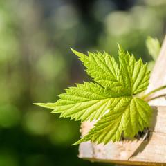 Hop Leaf, close-up