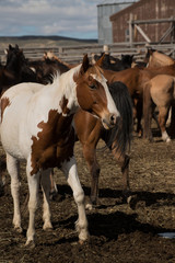 Paint horse in corral with herd at ranch