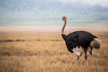 Big ostrich looking at the skyline in the Ngorongoro national park (Tanzania)