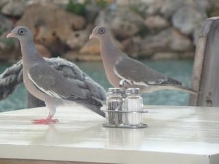 Aves de Aruba