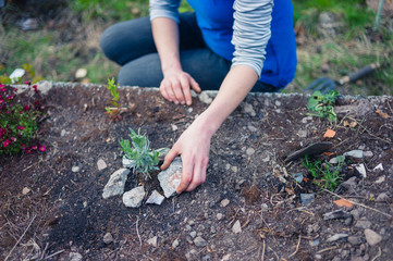 Young woman planting lavender in garden