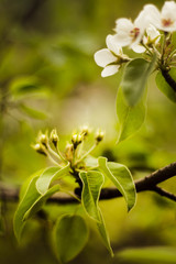 flower buds pears