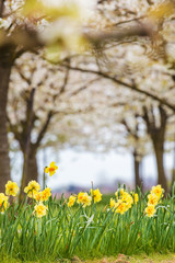 Narcissus in front of a blossom fruit trees