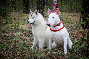 Bullterrier and Siberian husky on nature