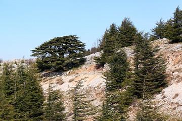 Lebanon Cedars