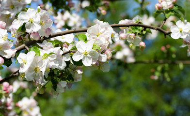 Spring Apple flowers blossom tree branch on Sky background