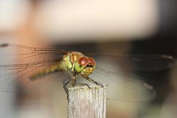Libelle auf einem Holzstab