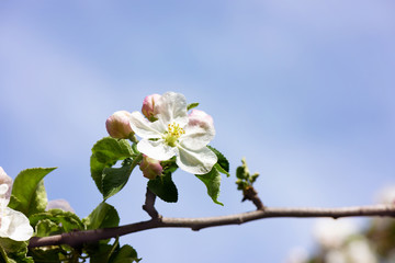 Spring Apple flowers blossom tree branch on Bokeh background