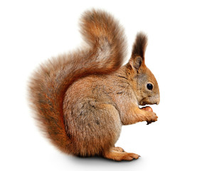 Poster Eekhoorn Eurasian red squirrel in front of a white background
