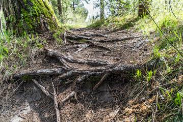 Baum verwurzelt sich im Trampelpfad im Wald