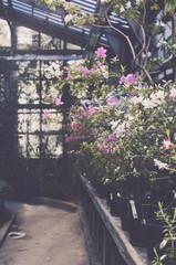 Blooming azalea bushes in old botanical garden greenhouse