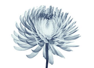 x-ray image of a flower isolated on white , the Pompon Chrysanth