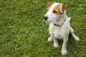 Jack Parson Russell Terrier puppy dog pet, tan rough coated, outdoors in park while laying on green grass lawn