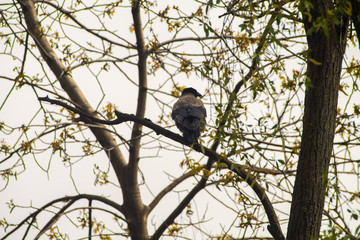 Raven sits on a branch