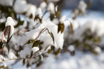 Snow on the leaves on the bush