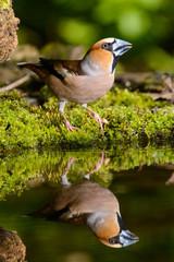 Grosbeak, brown songbird sitting in the water