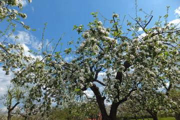 Jakob-Fischer-Apfelbaumblüten vor stahlblauem Himmel mit Wolken