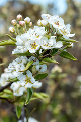 Pear blossom in a Kent Orchard, UK