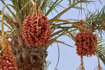 Ripening date palms