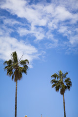 Washingtonia palm trees in Sitges, Spain