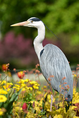 Grey heron sitting in flower bed in a park