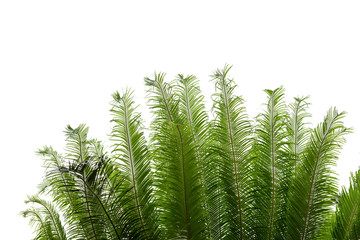 Cycad tree on natural background