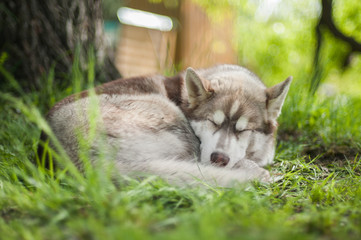 Curled up siberian husky puppy sleeping on lawn