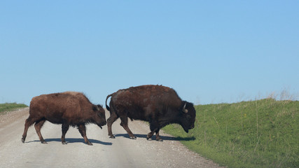 Two bison, a male and a female, cross a gravel road