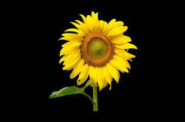 Sunflower isolated with clipping path