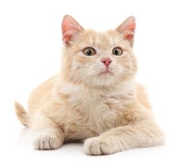 Brown kitten.