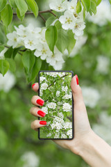 tourist takes photo of cherry blossoms in garden on smartphone