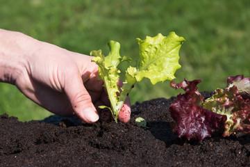 Planting of salads.
