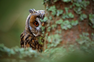 Wall Mural - Hidden portrait Long-eared Owl with big orange eyes behind larch tree trunk, wild animal in the nature habitat, Sweden
