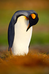 King penguin, Aptenodytes patagonicus sitting in grass and cleaning plumage, Falkland Islands. Penguin in the grass. Black and white big bird. Antarctica. Penguin in the nature habitat.