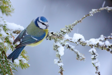 Blue Tit, cute blue and yellow songbird in winter scene, snow flake and nice snow flake and nice lichen branch, bird in the nature forest habitat, Germany