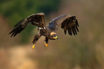 Steppe Eagle, Aquila nipalensis, bird moving action scene, flying dark brawn bird of prey with large wingspan, Norway