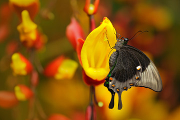 Green swallowtail buterfly, Papilio palinurus, insect in the nature habitat, red and yellow liana flower, Indonesia, Asia