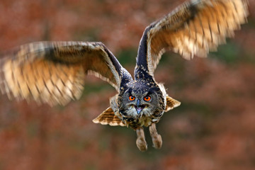 Flying bird with open wings in grass meadow, face to face detail attack fly portrait, orange forest in the background, Eurasian Eagle Owl, Bubo bubo, animal with big eyes in the nature habitat, Norway