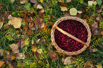 cranberries basket on autumn leaves