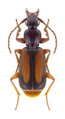 Beetle Polistichus connexus