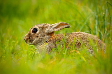 Cute rabbit with flower dandelion sitting in grass, animal in nature habitat, life in the meadow, Germany