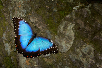 Butterfly Blue Morpho, Morpho peleides. Big blue butterfly sitting on grey rock, beautiful insect in the nature habitat, wildlife. Blue butterfly  from Amazon, Peru, South America. Wildlife scene.
