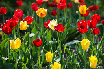 Tulips. Red and yellow tulips. Charming bouquet of fresh flowers