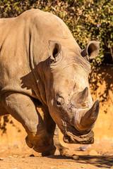 Wall Mural - White Rhino