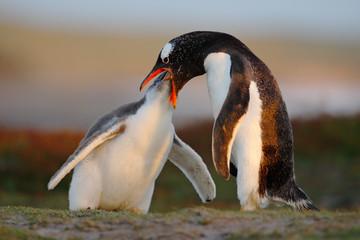 Feeding scene. Young gentoo penguin beging food beside adult gentoo penguin, Falkland. Penguins in the grass. Young gentoo with parent. Open penguin bill. Young with adult. Penguins in the nature.