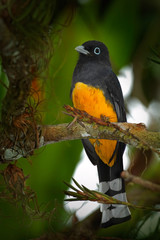 Guianan Trogon, Trogon violaceus, yellow and dark blue exotic tropic brid sitting on thin branch in the forest, Costa Rica