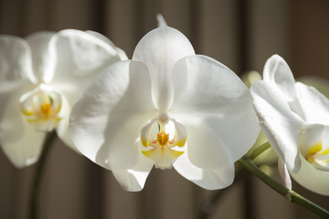 The  Orchid is Blooming now