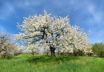 Üppig blühender Kirschbaum