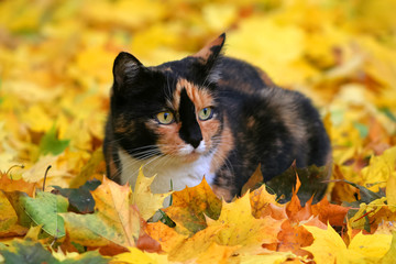 Katze schildpatt Färbung sitzt im herbvstlichen Ahornlaub